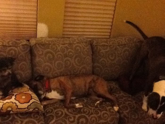 """""""А мне куда присесть?"""" домашние животные, зоопарк на диване, собаки"""