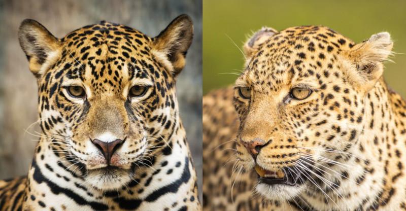Тёлка в костюме леопарда видео