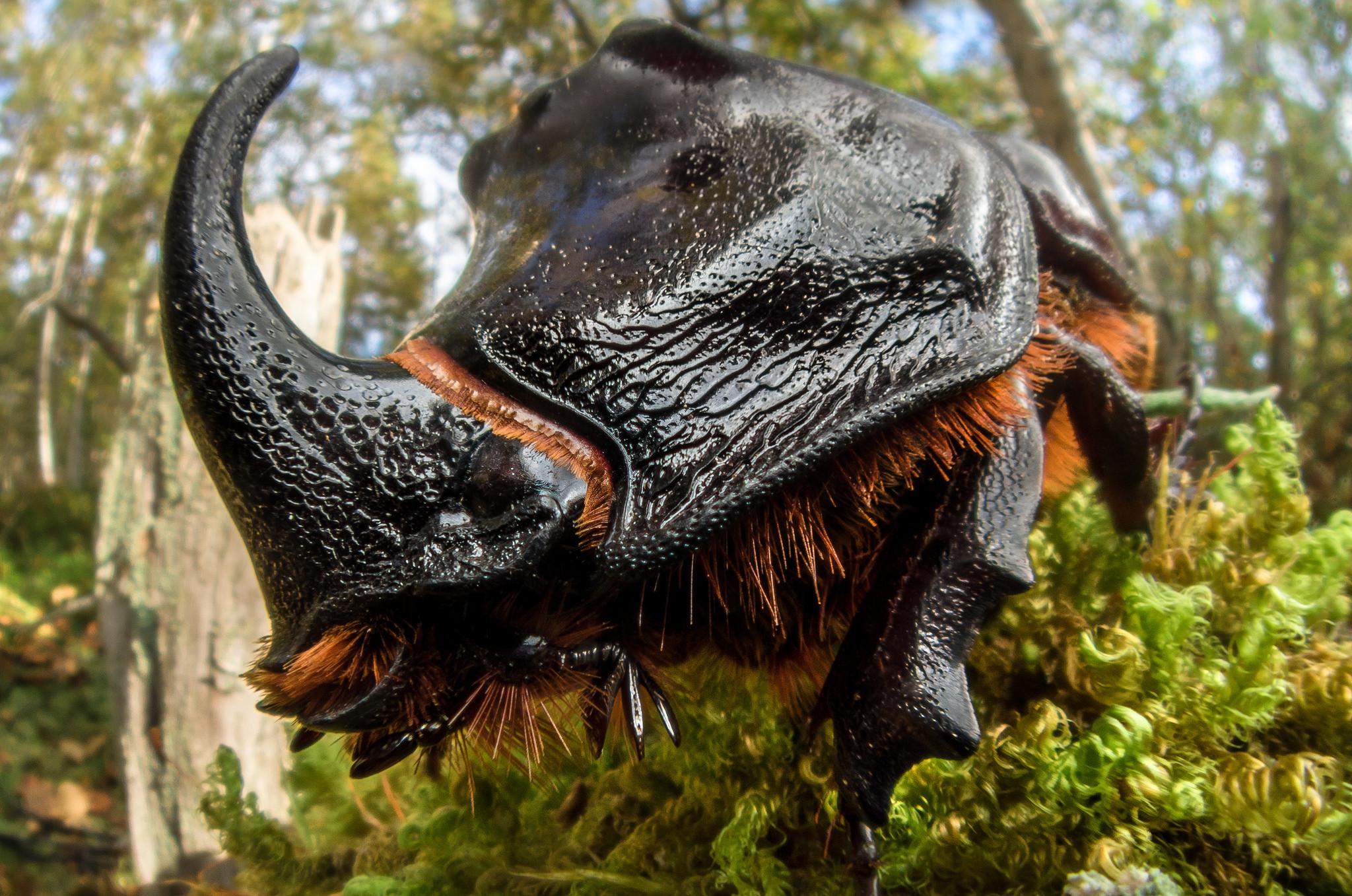 Жук-носорог в макросъёмке шведского фотографа John Hallmеn