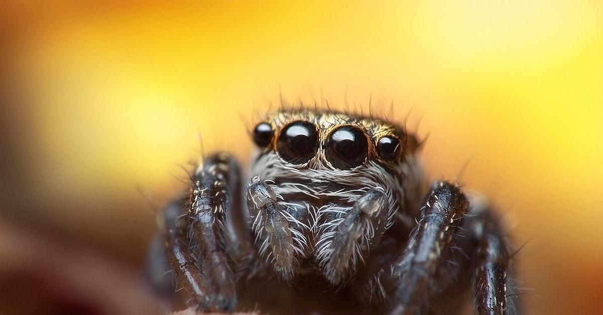 Молодая самка паука скакунчика Evarcha arcuata