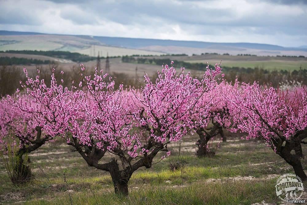 оставить картинка цветущего персиками весна морозом, ветром