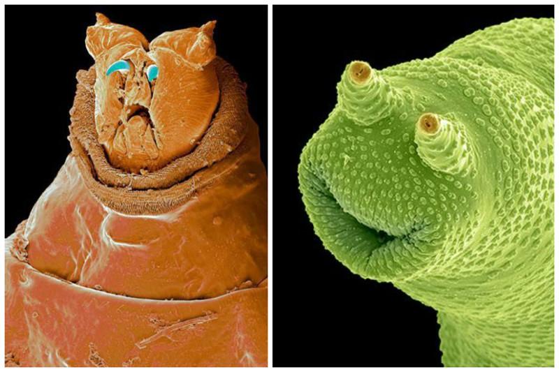 Личинка мухи и коловратка интересное, красота, микросъемка, удивительное