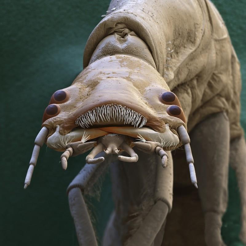 Личинка водного жука Dytiscidae  интересное, красота, микросъемка, удивительное