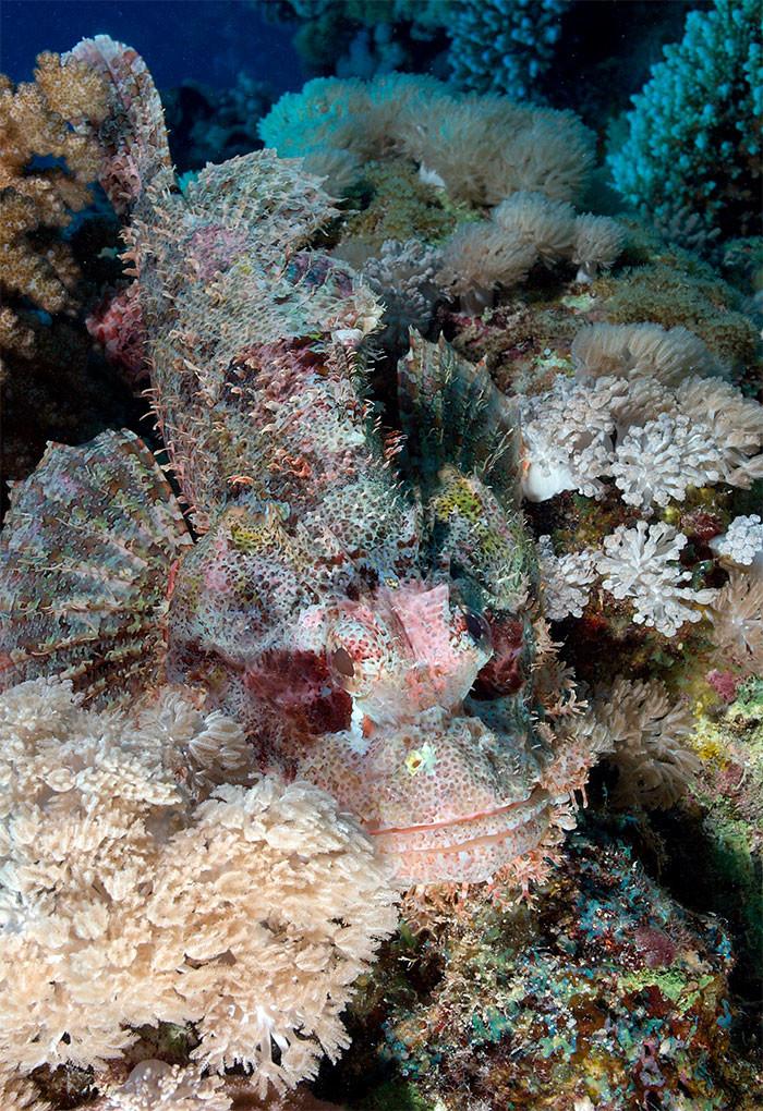 Лучеперая рыба скорпенодес в мире животных, животные, защитная реакция, камуфляж, маскировка