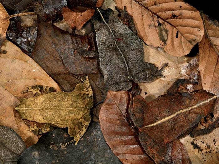 Листовые лягушки вида Rhaebo haematiticus в мире животных, животные, защитная реакция, камуфляж, маскировка