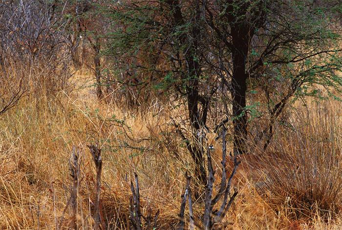 Чернопятая антилопа в мире животных, животные, защитная реакция, камуфляж, маскировка
