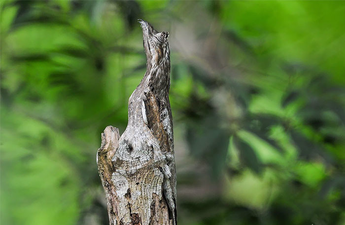 Длиннохвостый козодой в мире животных, животные, защитная реакция, камуфляж, маскировка