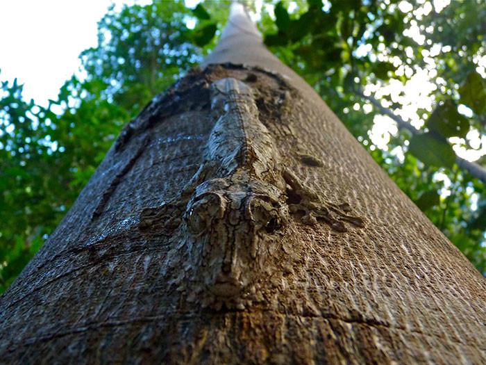 Листохвостый мадагаскарский геккон в мире животных, животные, защитная реакция, камуфляж, маскировка