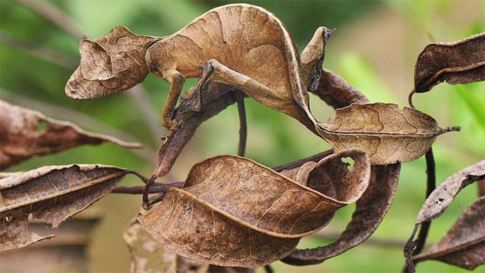 Листохвостый геккон в мире животных, животные, защитная реакция, камуфляж, маскировка