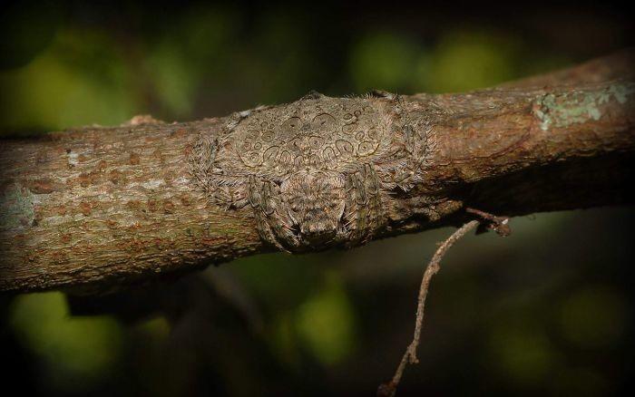 Наматывающийся на ветку паук Dolophones turrigera в мире животных, животные, защитная реакция, камуфляж, маскировка