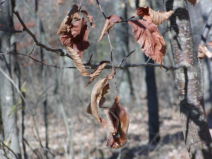 Красный волосатохвост - летучая мышь в мире животных, животные, защитная реакция, камуфляж, маскировка