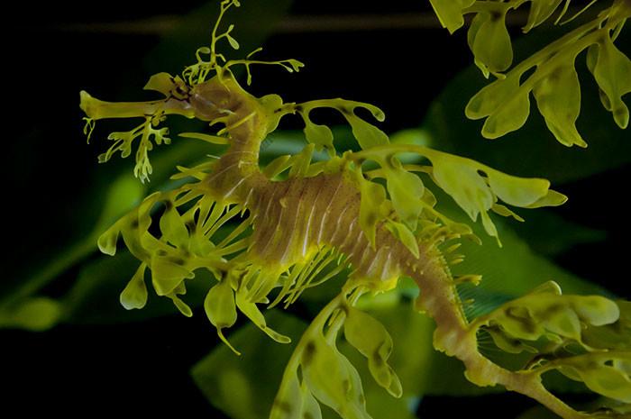 Морской конёк-тряпичник в мире животных, животные, защитная реакция, камуфляж, маскировка