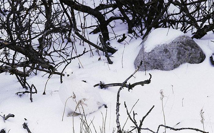 Белая куропатка в мире животных, животные, защитная реакция, камуфляж, маскировка