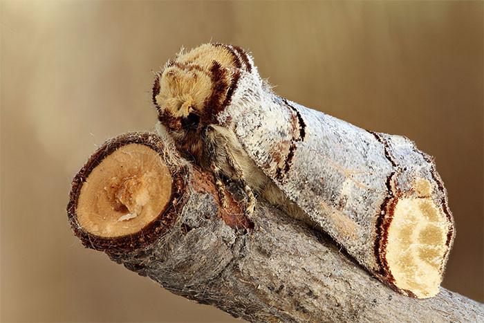 Ночная бабочка хохлатка-буцефал в мире животных, животные, защитная реакция, камуфляж, маскировка