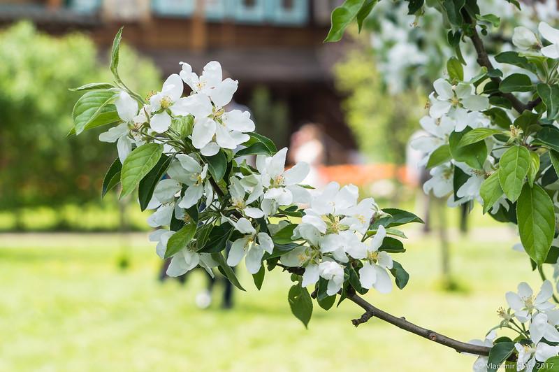 как оформить фото проекта в цвету яблонь для здоровья красоты