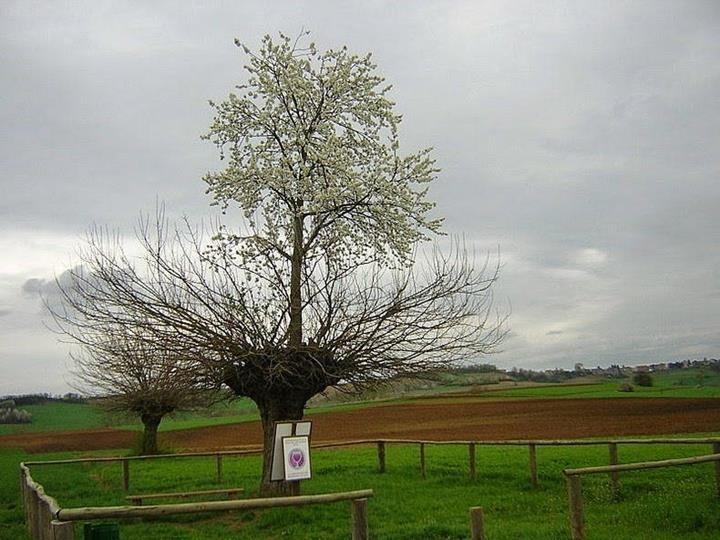 18. В Италии растёт тутовое дерево, на котором растет вишневое дерево Прикольные фото, животные, чудеса