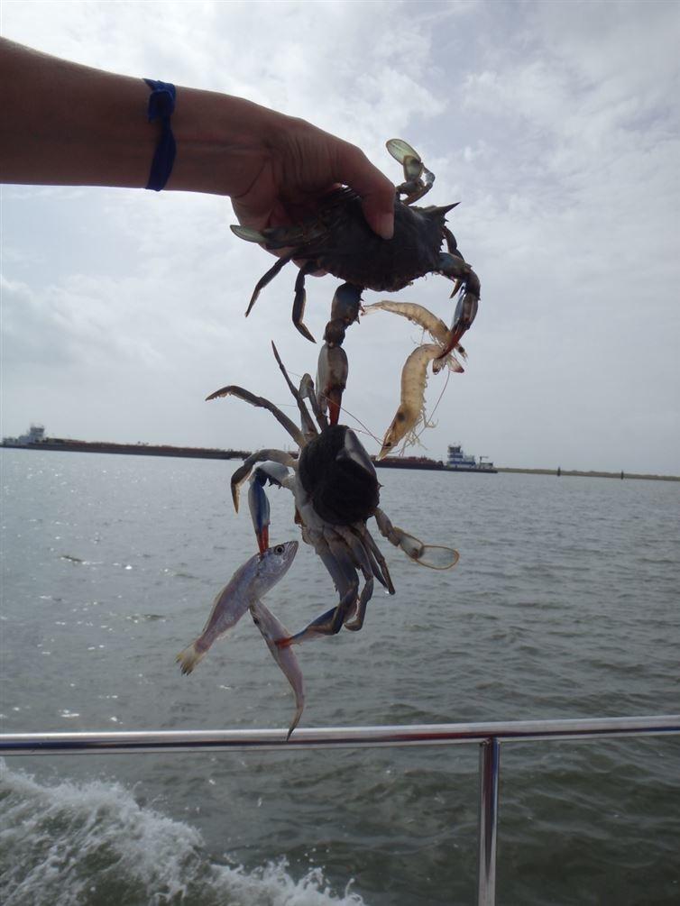 4. Рыбак выловил синего краба, который поймал две креветки и еще одного синего краба с двумя рыбками Прикольные фото, животные, чудеса