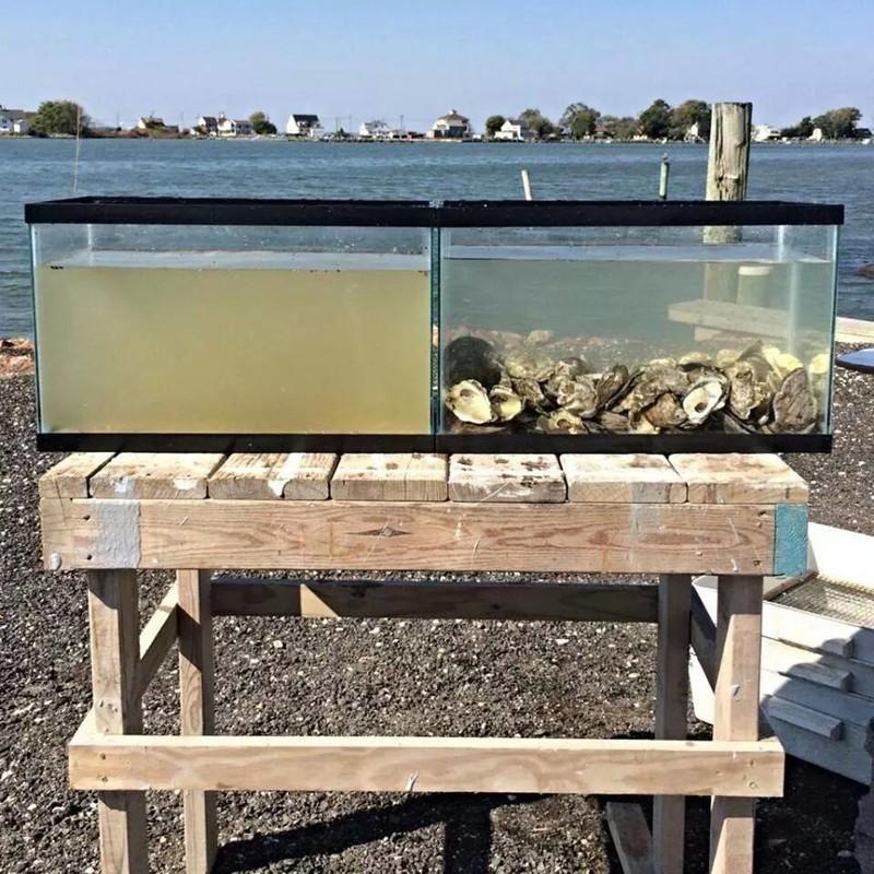 6. Живой фильтр — вода в аквариумах взята из одного источника, в правый поместили несколько двустворчатых (устрицы, мидии, морские гребешки) Прикольные фото, животные, чудеса