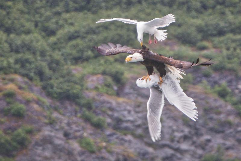 3. «Воздушный бой» на Аляске Прикольные фото, животные, чудеса