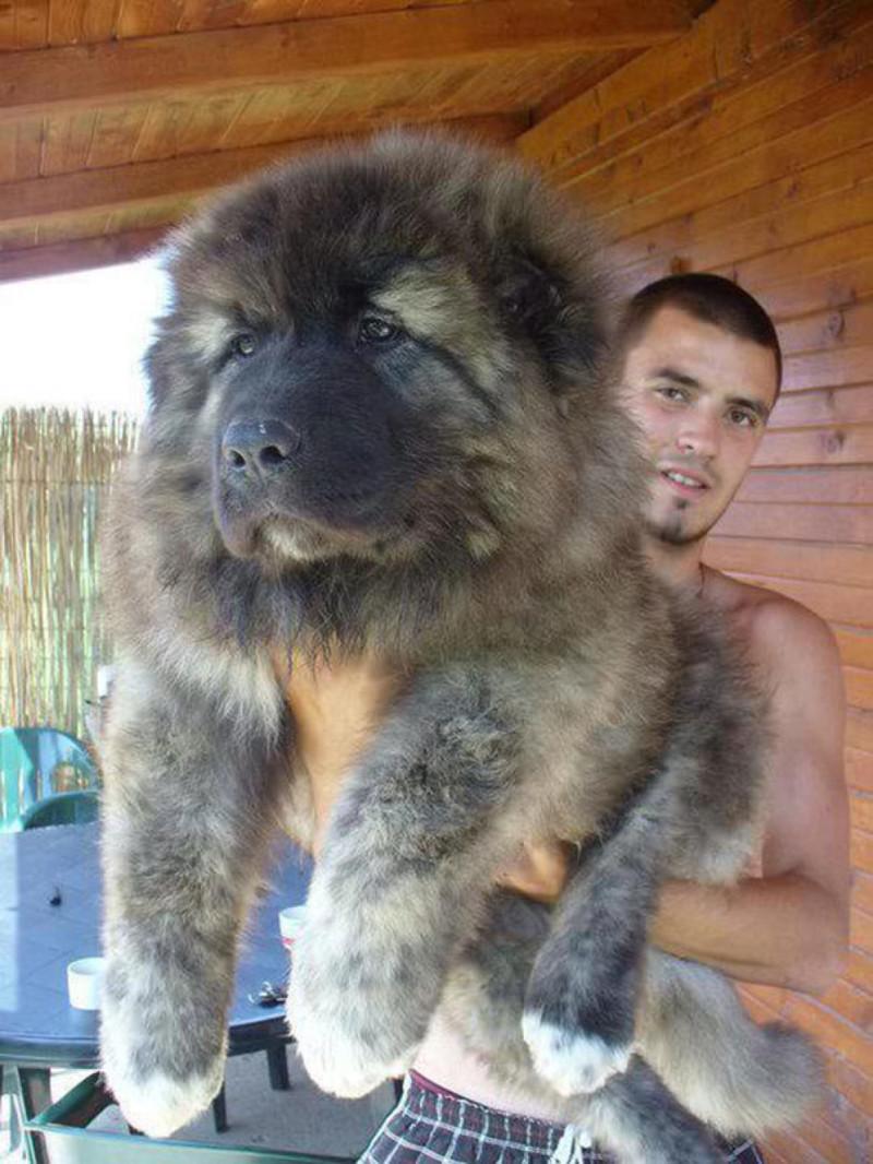 17. Щенок Нагази — грузинская горная сторожевая собака Прикольные фото, животные, чудеса