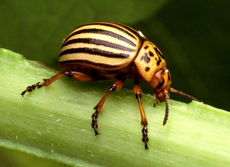Колорадский жук - это... Что такое Колорадский жук?