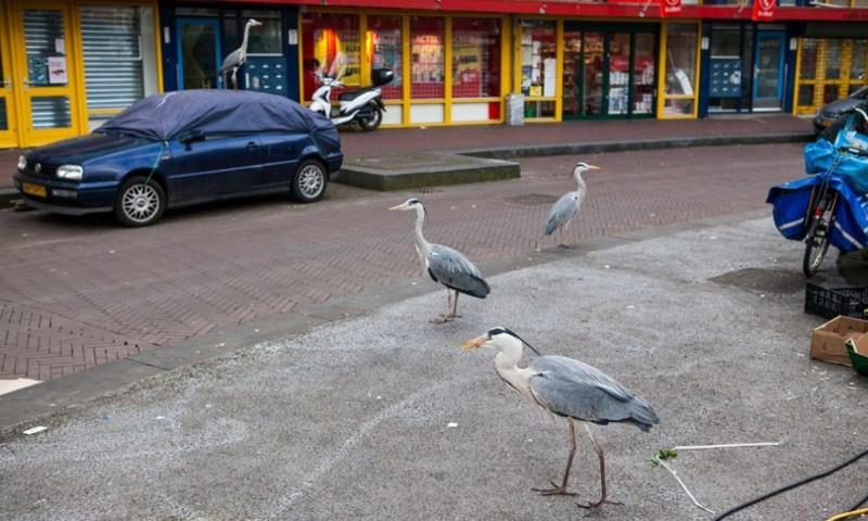 Самые необычные жители Амстердама амстердам, животные, интересно, любопытно, ото, птицы, птицы в городе, серые цапли
