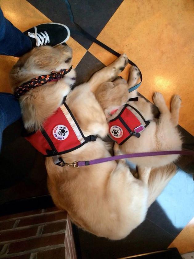 Фотографии щенков в их первый день на службе животные, милота, полиция, прикол, работа, служба, собака, щенок