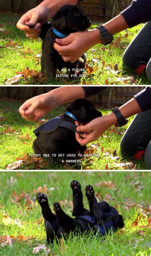 Будущая собака-поводырь животные, милота, полиция, прикол, работа, служба, собака, щенок
