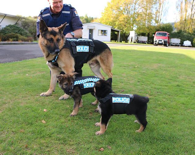Первая примерка жилетов животные, милота, полиция, прикол, работа, служба, собака, щенок