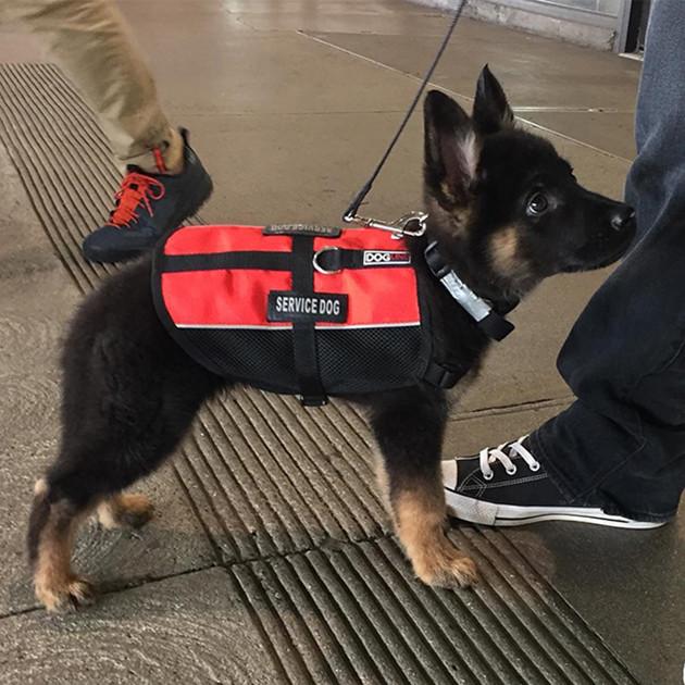 Самый милый служебный пес животные, милота, полиция, прикол, работа, служба, собака, щенок