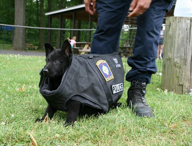Это первый тренировочный день щенка. Пуленепробиваемый жилет ему велик… пока животные, милота, полиция, прикол, работа, служба, собака, щенок