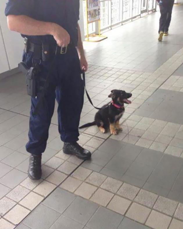 Однажды он станет большим служебным псом животные, милота, полиция, прикол, работа, служба, собака, щенок