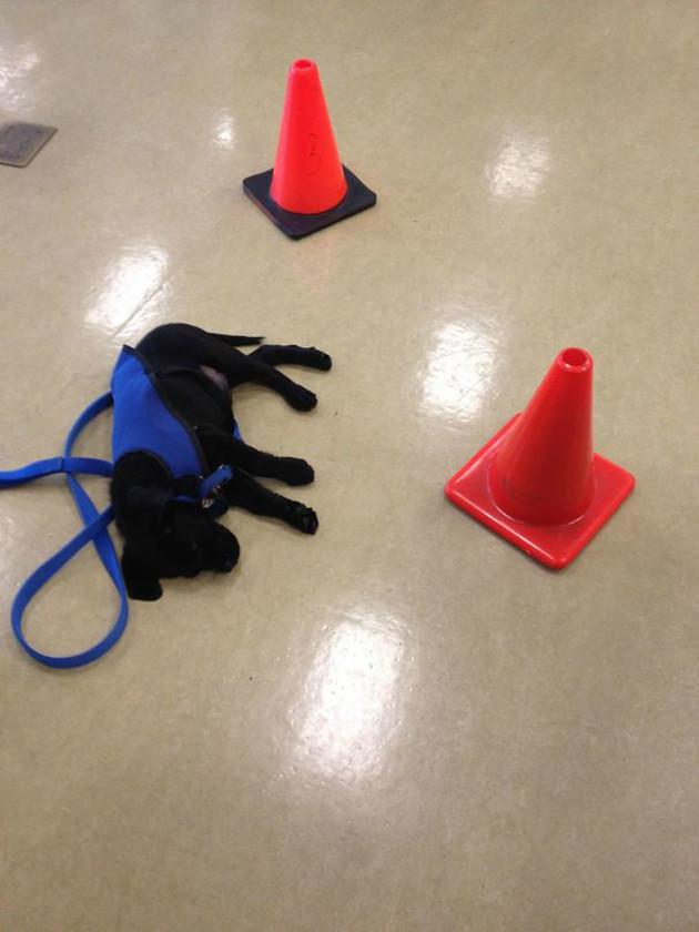 Щенок вздремнул на тренировке, и вокруг него поставили дорожные конусы, чтобы никто не потревожил его сон животные, милота, полиция, прикол, работа, служба, собака, щенок