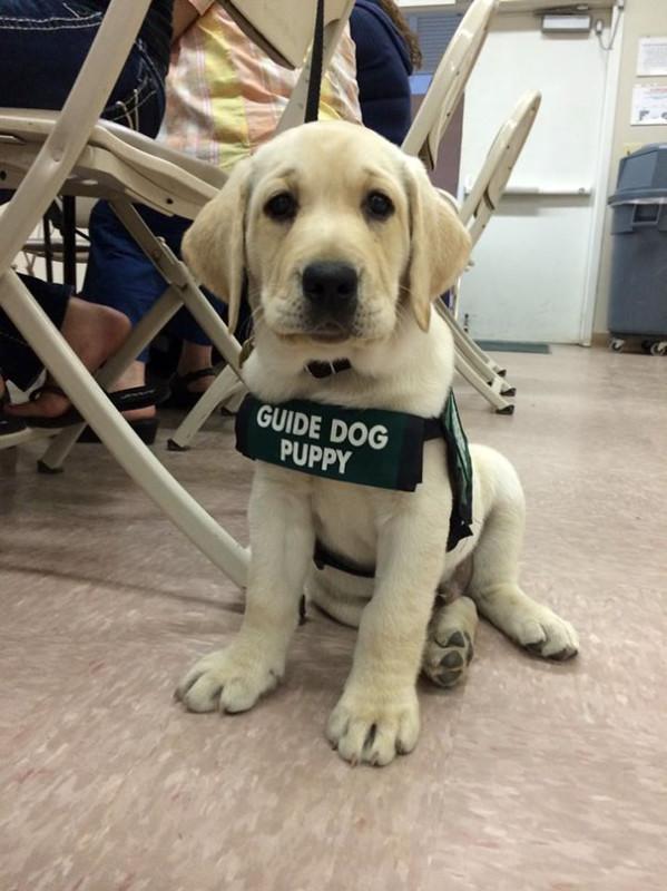 Он с гордостью носит форму животные, милота, полиция, прикол, работа, служба, собака, щенок