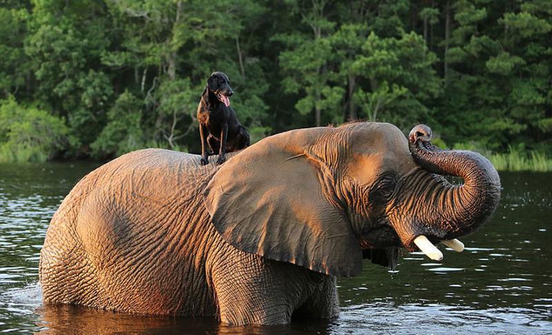 Слон и пес, которых подружила вода брошеные звери, дружба животных, животные, слон, собака, спасения животных, удивительносафари парк