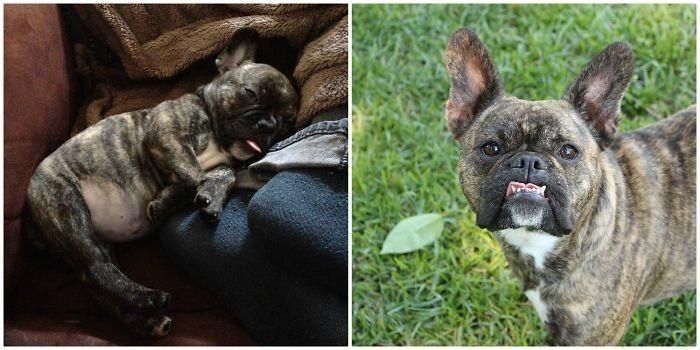 Пигги выросла. Два фото с разницей в три года до и после, животные, любимцы, мило, питомцы, собаки, трогательно, фото