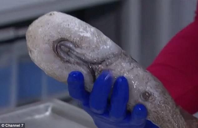 """Одна из грандиозных находок исследователей - рыба """"без лица"""" исследование, море, находки, океан, рыбы, существа, ученые, фото"""