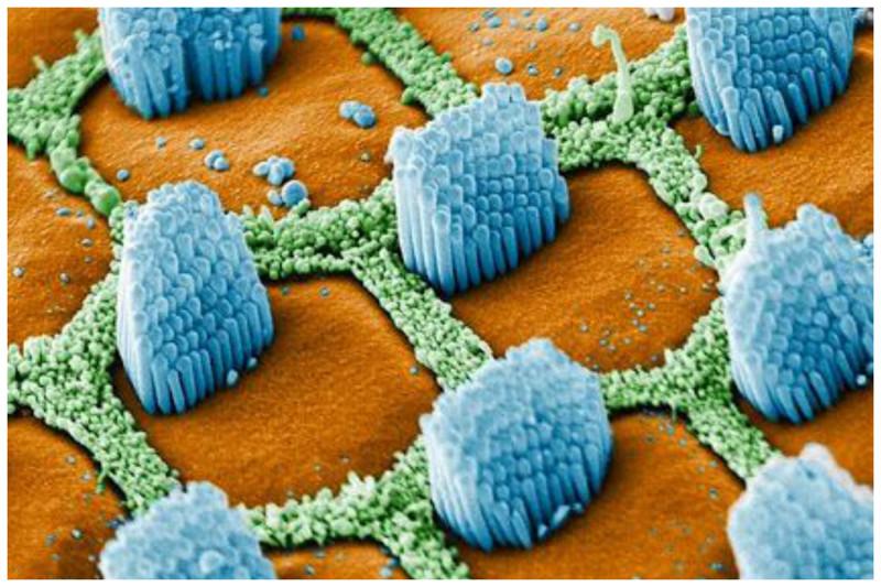 Сенсорные реснички (Cilia) в вашем внутреннем ухе геометрия, красота, микросъемка, природа, удивительно