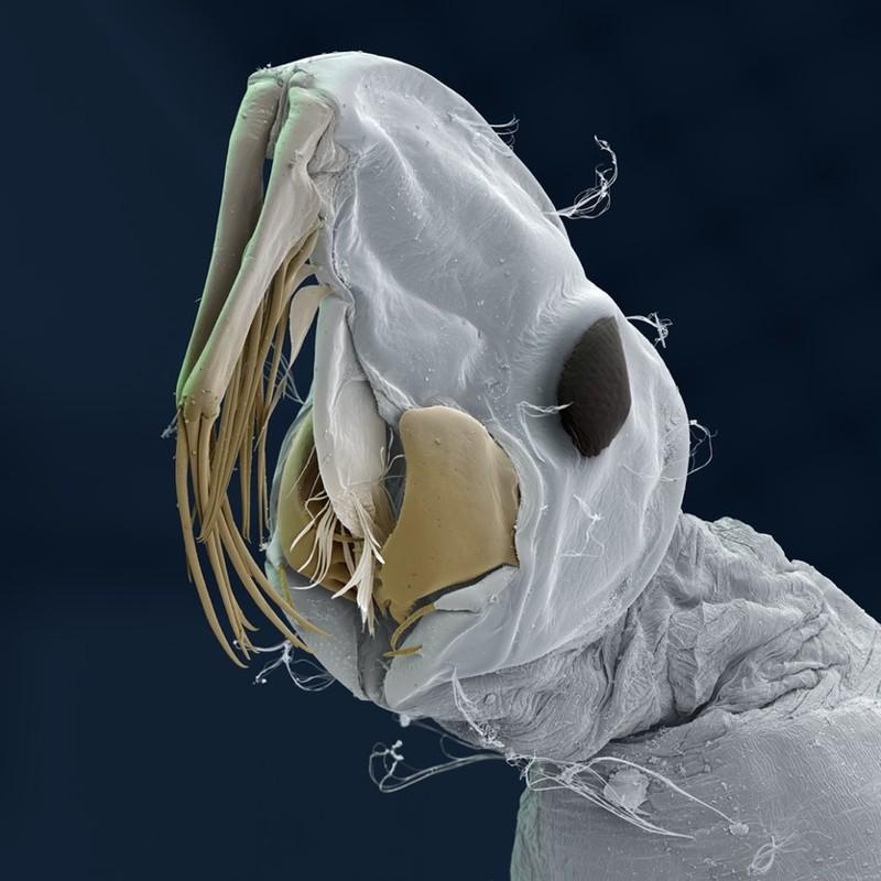 Стрекоза огнетелка нимфальная (Pyrrhosoma nymphula) геометрия, красота, микросъемка, природа, удивительно