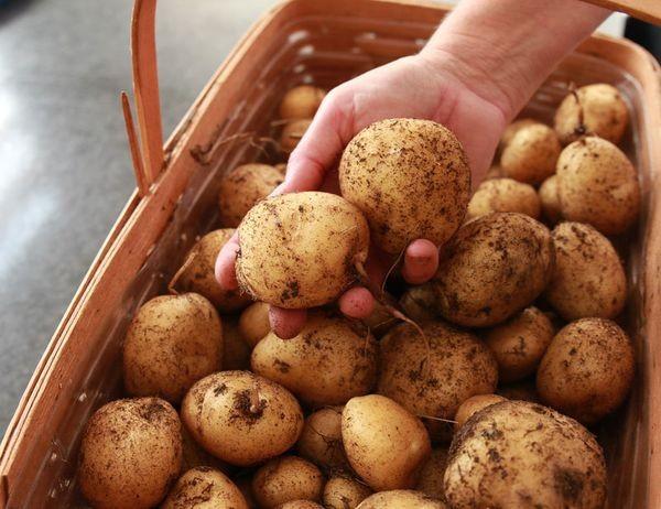 Вот как собрать невероятный урожай картофеля с четырёх соток выращивание картофеля, как вырастить картофель, картошка, небывалый урожай, огород, огородничество, урожай