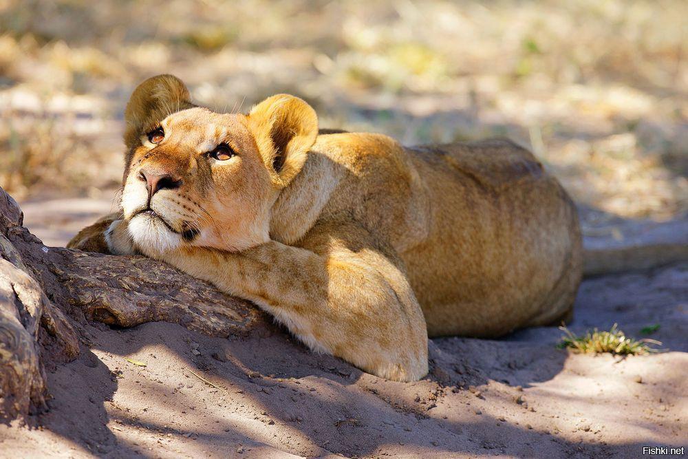 Марта именем, картинка с львицей