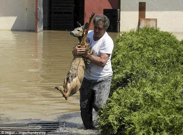 Житель Польши спасает оленя во время наводнения герои, животные, несчастный случай, опасность, спасатели, спасение, уважение, фото