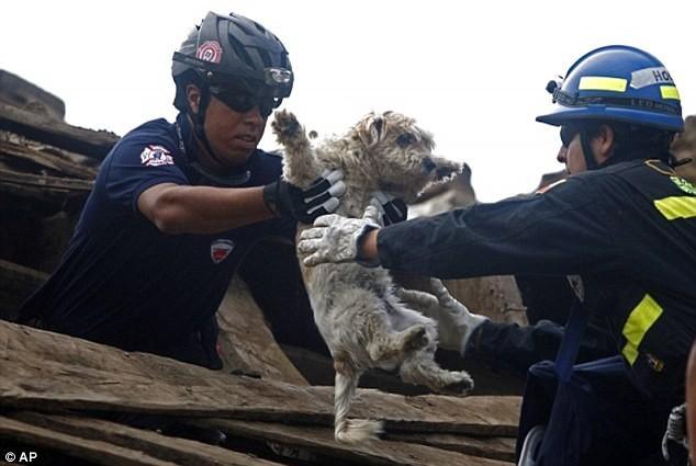 Спасение собаки во время землетрясения в Чили, 2010 герои, животные, несчастный случай, опасность, спасатели, спасение, уважение, фото