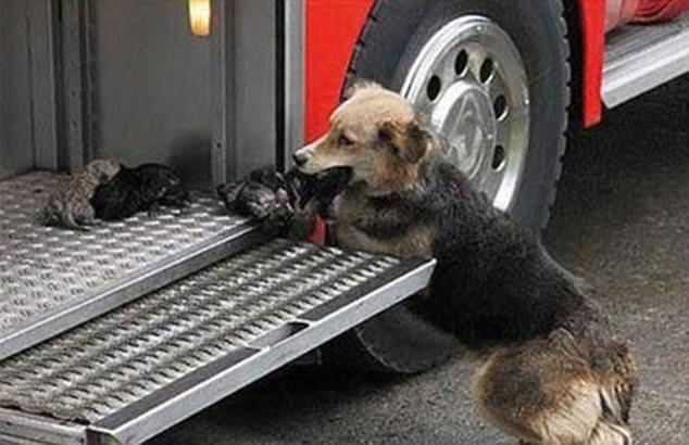 Животные тоже совершают геройские поступки - собака спасла всех своих щенков из пожара, и бережно перенесла их в пожарную машину герои, животные, несчастный случай, опасность, спасатели, спасение, уважение, фото