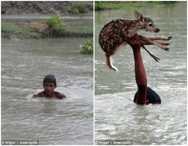 Бангладеш, округ Ноакхали. Мальчик прыгнул в реку, чтобы спасти тонущего олененка. К счастью, никто не пострадал. герои, животные, несчастный случай, опасность, спасатели, спасение, уважение, фото