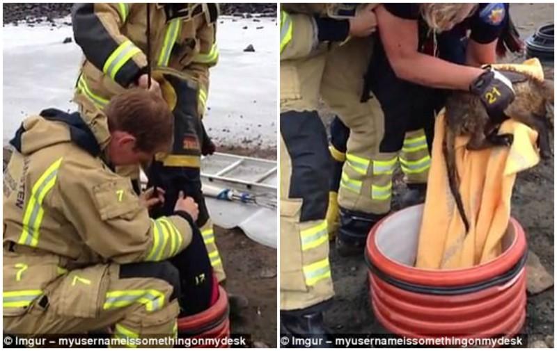 На этом фото работают три спасателя - один из них спустился в трубу, чтобы достать упавшую внутрь лисицу герои, животные, несчастный случай, опасность, спасатели, спасение, уважение, фото
