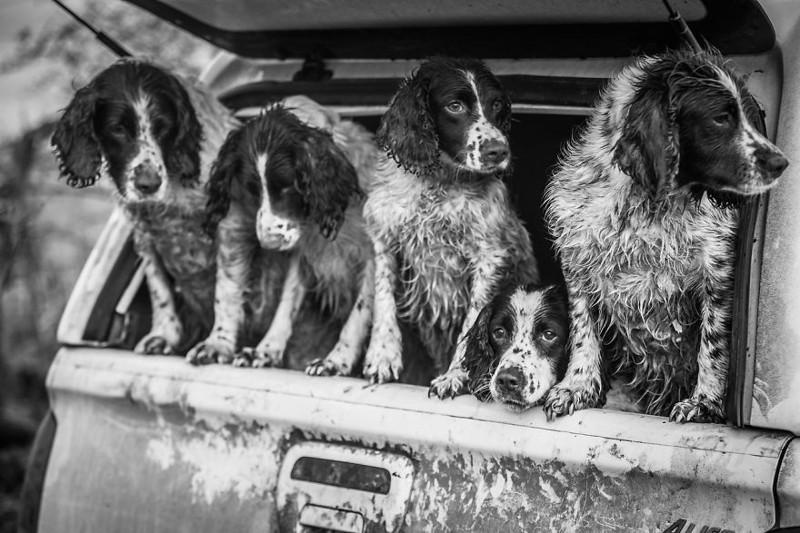 """2 место в категории """"Собаки за работой"""" - Люси Чармен, Великобритания Кеннел клаб, животные, конкурс, лондон, портрет, собаки, фото, фотография года"""