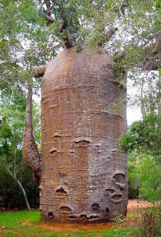 Баобаб деревья, невероятное, природа, удивительное, флора