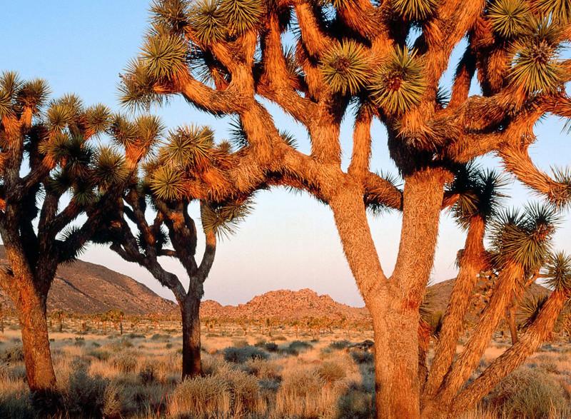Дерево Джошуа деревья, невероятное, природа, удивительное, флора