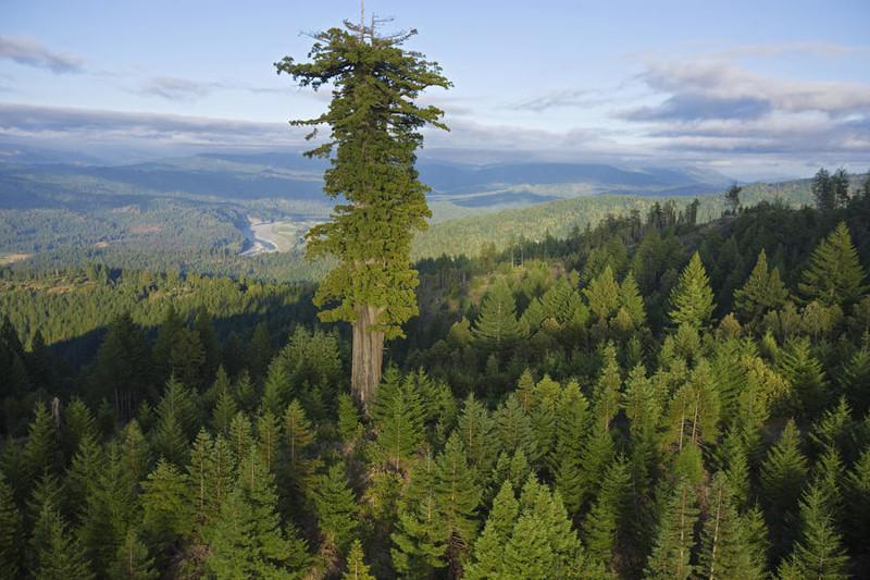 Самое высокое дерево мира (Sequoia sempervirens) - Гиперион (115,61 метров) деревья, невероятное, природа, удивительное, флора
